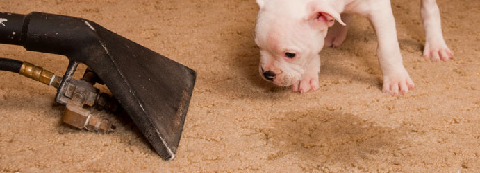 Remove Dog's Urine Stains and Odor From My Carpet