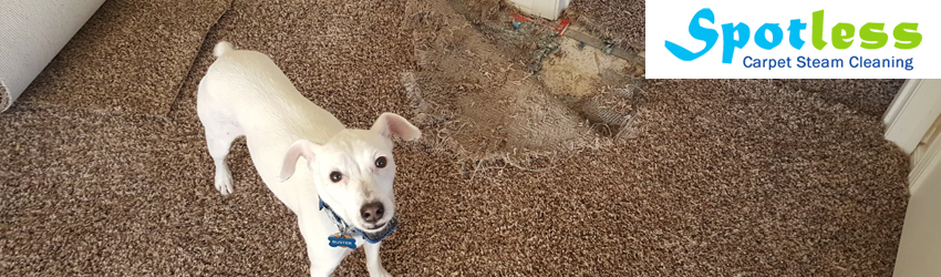 Carpet Pet Damage Repair Bellmount Forest