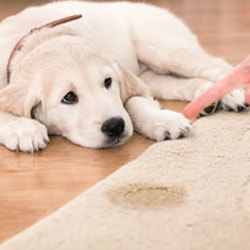 Carpet Urine Stain Removal Services