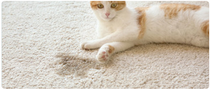Remove Cat Urine In A Carpet By Steam Cleaning